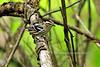 Warbler, Black & White 2010.5.3#013. Peace Valley, Bucks County Pennsylvania.