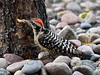 Woodpecker, Ladder-backed 2017.5.7#259. Prescott Valley, Arizona.