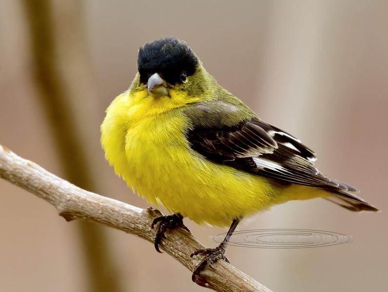 Goldfinch, Lesser 2018.3.10#2085. Prescott Valley, Arizona.