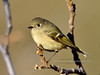 Kinglet, Ruby crowned. Yavapai County, Arizona. #113.171.