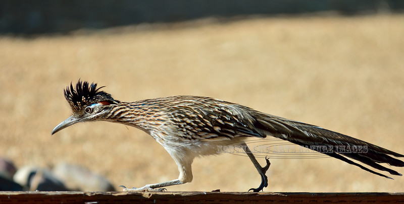 Roadrunner. Prescott Valley, Arizona. #1229.010.