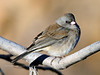 Junco, Dark-eyed. Yavapai County, Arizona. #1118.096.