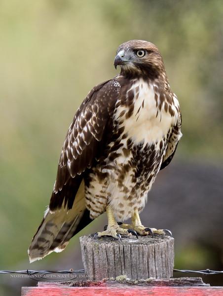 Raptors & allies-Hawk, Red-tailed 2017.9.13. Near Livingston Montana.
