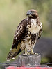 Raptors & allies-Hawk, Redtailed. Near Livingston Montana. #913.1779.