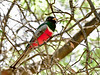 Trogon,Elegant. Santa Rita Mountains Arizona. #522.016.