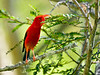 'I'iwi. An endangered endemic wet forest Honey Creeper. Hakalau Forest, Mauna Kea, Hawaii. 3x4 ratio format.