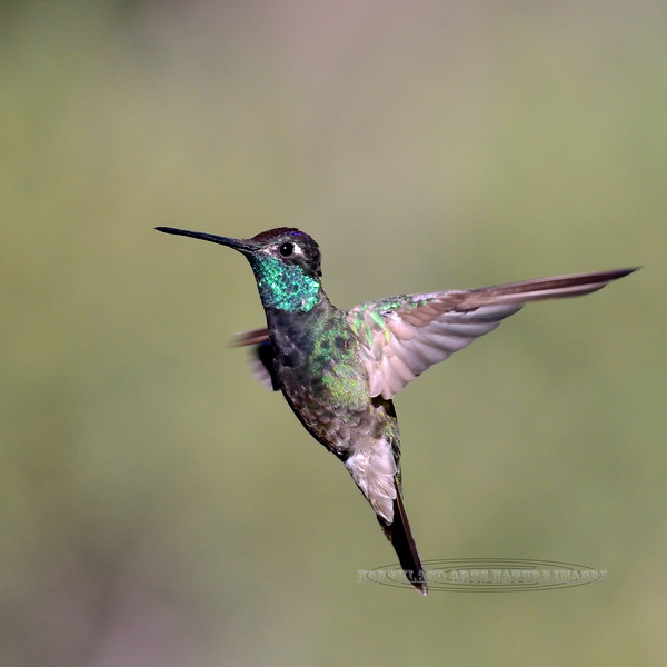 Hummingbird, Magnificent. Now called Rivoli's. A male whose plumage is unfortunately starting to wear and molt. Santa Rita Mountains, Arizona. #516.487.