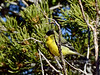 Goldfinch, Lesser. Coconino County, Arizona. #1128.341.