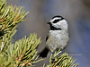 Chickadee, Mountain 2017.11.28#409. Grand Canyon, Coconino County Arizona.