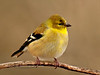 Goldfinch, American. A winter female. Bucks County, Pennsylvania. #114.916.