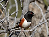 Towhee, Spotted 2017.11.18#152. Mingus Mountain, Yavapai County Arizona.