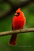 Cardinal, Northern 2012.4.28#044. Peace Valley, Bucks County Pennsylvania.