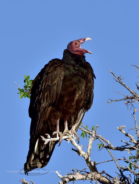 Raptors & allies-Vulture, Turkey. Chiricahua Mountains Arizona. #55.176.