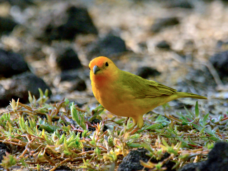 Finch,Saffron. Honokohau Harbor, Hawaii. #22.806. 3x4 ratio format