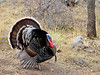 Turkey, Gould's 2018.4.7#053. Santa Rita Mountains, Arizona.