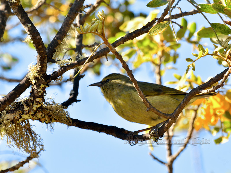 Amakihi. An endemic honeycreeper of the high mountain forest. Mauna Kea, Hawaii. #26.027. 3x4 ratio format.