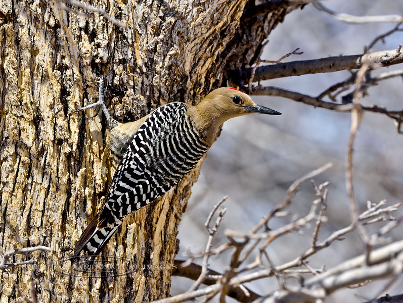 Woodpecker, Gila 2018.3.20#597. San Pedro House, Arizona.