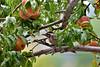 Woodpecker, Ladder-backed 2018.7.28#056. Feeding on peaches. Prescott Valley Arizona.