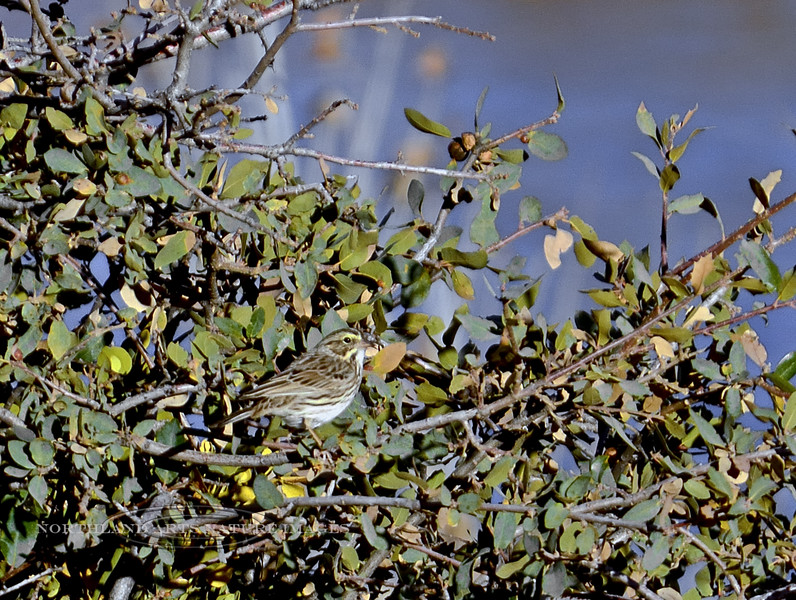 Sparrow, Savannah. Willow Lake, Yavapai County, Arizona. 917.087.