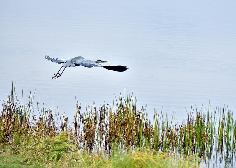 Heron, Great Blue 2020.9.24#5005.2. Rickets Glenn State Park, Pennsylvania.