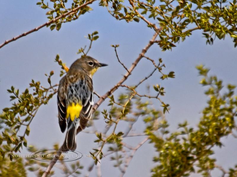 Warbler, Yellow-rumped Audabon's 2007.3.5#0393. Saquaro Nat Park east, Arizona.