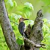 Woodpecker, Red-bellied 2016.5.11#993.5. Quarry Road, Bucks County Pennsylvania.