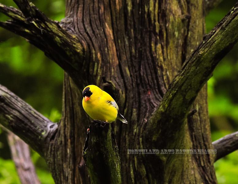 Goldfinch, American 2010.5.3#165. Peace Valley, Bucks County Pennsylvania.