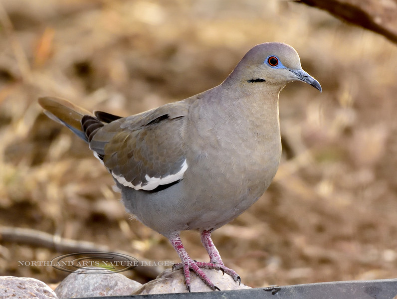 Dove, White-winged 2018.3.22#1626. Patagonia, Arizona.