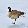 Goose, Greater Canada 2019.1.5#188. Yavapai Lake, Prescott Valley Arizona.