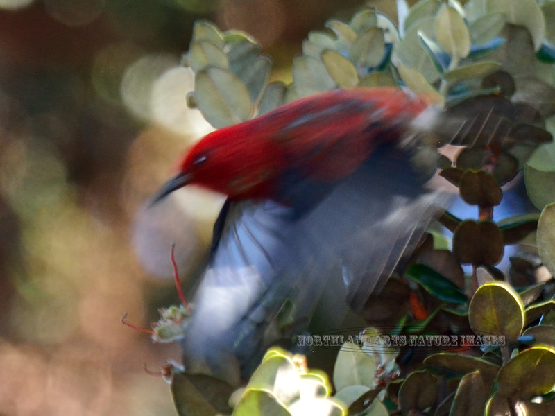 Apapane. An endemic honeycreeper of the high elevation forest. Hakalau Forest, Mauna Kea, Hawaii. #23.1201. 3x4 ratio format.