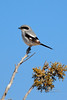 Shrike, Loggerhead. Petrified Forest Arizona. #32.0064.