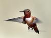 Hummingbird, Rufous. Patagonia, Arizona. #321.1366.