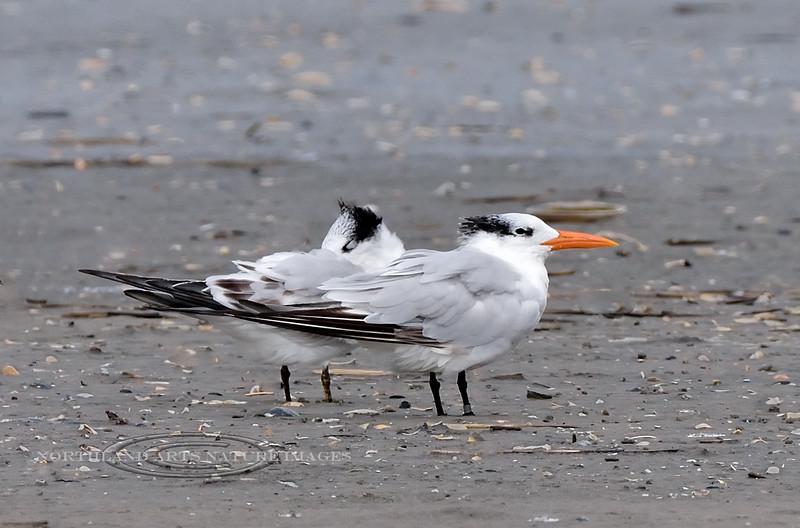 Tern, Royal 2020.9.18#4594.2. Stone Harbor Point, Cape May, New Jersey.