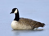 Goose, Greater Canada. Yavapai County Arizona. #15.200.