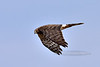 Raptors & allies-Harrier, Norther, female. Wilcox Playa Arizona. #1114.1091.