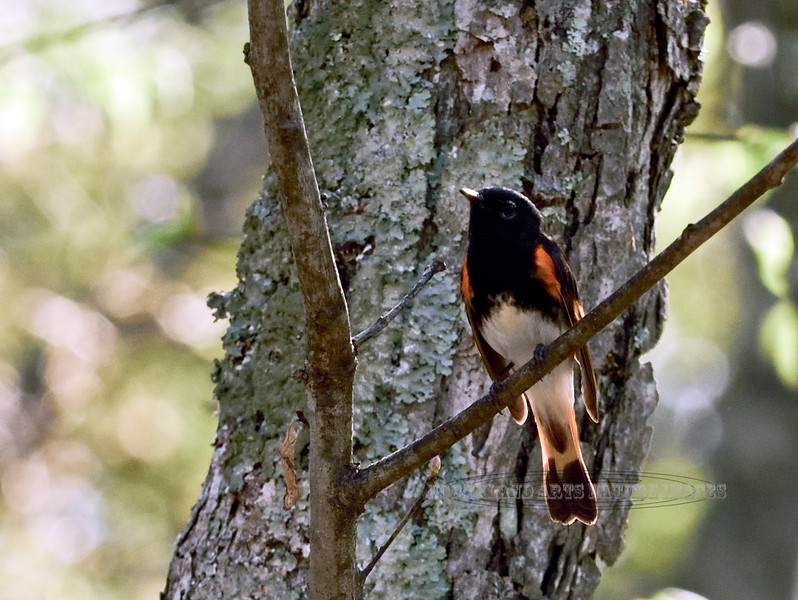 Redstart, American. Delaware Forest, Pike Co.,PA. #512.1197.