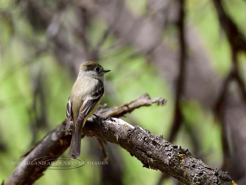 Flycatcher, Hammond's 2018.4.19#029. Hassayampa Preserve, near Wickenberg Arizona.