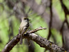 Flycatcher, Hammond's 2018.4.19#029. Hassayampa Preserve, near Wickenberg Arizona.