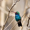 Hummingbird, Broad-billed. Patagonia, Arizona. #321.1436.