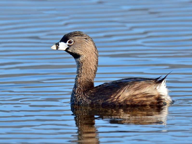 Grebe, Pied-billed. Rocky Mountains. #520.204. 3x4 ratio format.