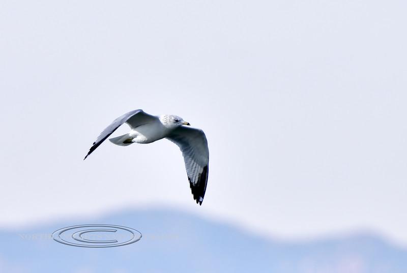 Gull, Ring-billed. Cochise Lake, Wilcox Arizona. #1120.058.