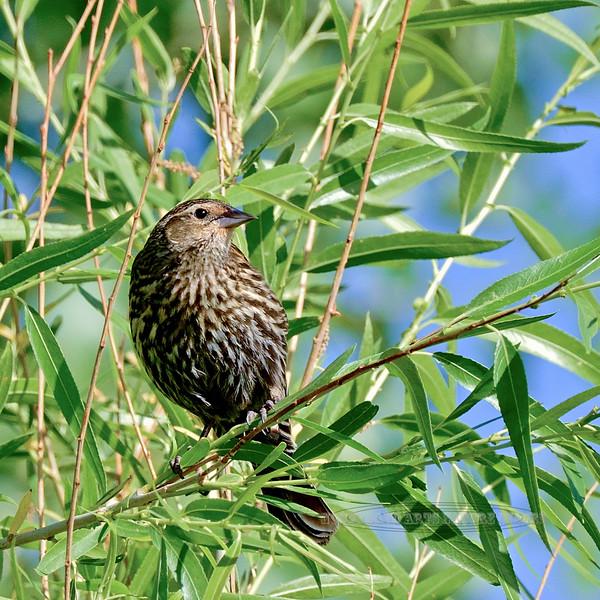 Blackbird, Red-winged 2018.5.9#168. Sedona Wetlands, Yavapai County Arizona.