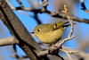 Kinglet, Ruby crowned. Yavapai County, Arizona. #1118.077.