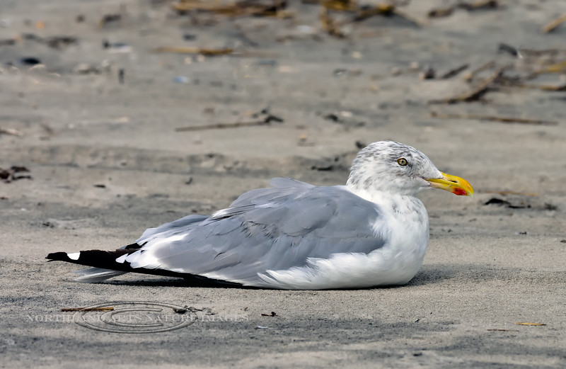 Gull, Lesser-Black-backed 2020.9.18#4332.3. Stone Harbor Point, Cape May, New Jersey.