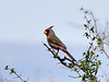 Pyrrhuloxia 2018.4.9#1717. Box Canyon Rd., Santa Rita Mountains, Arizona.