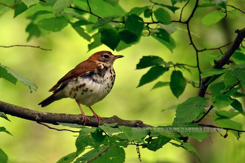 Thrush, Wood 2014.5.22#164. Hylocichla mustelina. Listening to an intruder. Geigle Hill, Bucks County Pennsylvania.