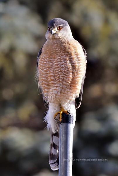Raptors & Allies-Hawk, Cooper's 2019.1.7#026. A mature male. Prescott Valley Arizona.