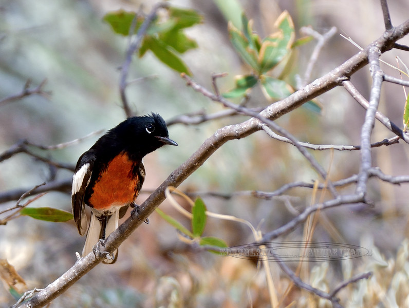 Redstart, Painted. Santa Rita Mountains, Arizona. #47.371.