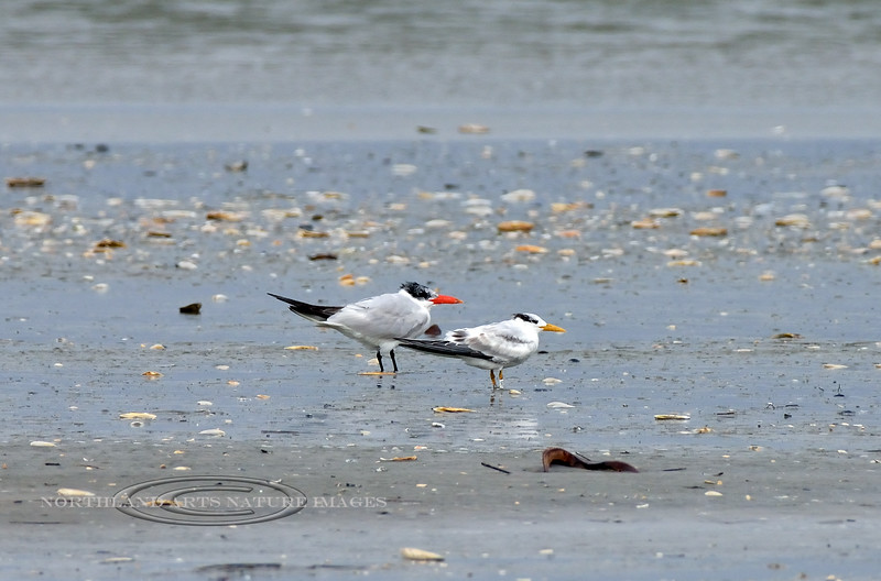 Tern, Caspian 2020.9.18#4590.2. With a smaller yellow billed Royal. Stone Harbor point, Cape May, New Jersey.