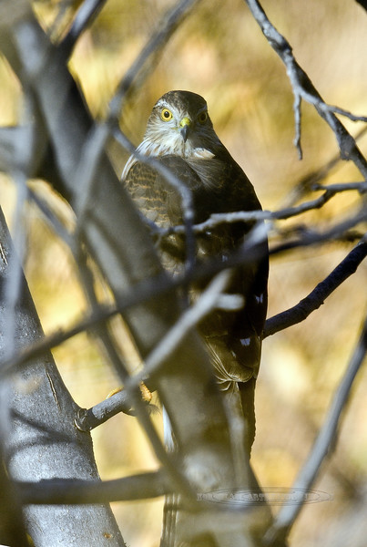 Hawk, Sharp-shinned juvenile Yavapai County Arizona,